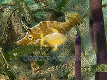 Aiptasia Eating Filefish - Acreichthys tomentosus - Matted Filefish - Bristletail Filefish - Matted Leatherjacket
