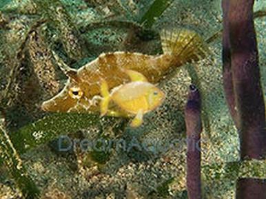 Aiptasia eating filefish acreichthys tomentosus matted for Aiptasia eating fish