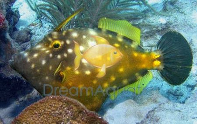 Flame Filefish - Pervagor melanocephalus - Blackheaded File Fish