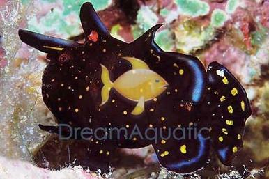 Sargassum Fish - Histrio histrio - Sargassum Frogfish
