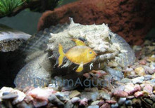 Toadfish - Opsanus beta - Toadfish