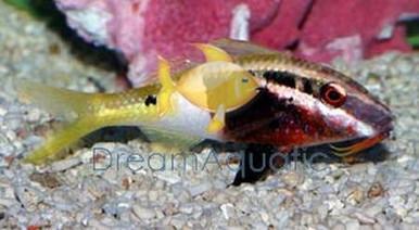 Bicolor Goatfish - Parupeneus barberinoides - Hawaiian Goat Fish