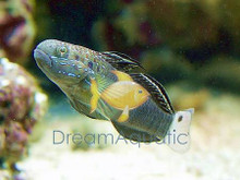 Banded Goby - Amblygobius phalaena - Brownbarred - Sleeper Banded Goby