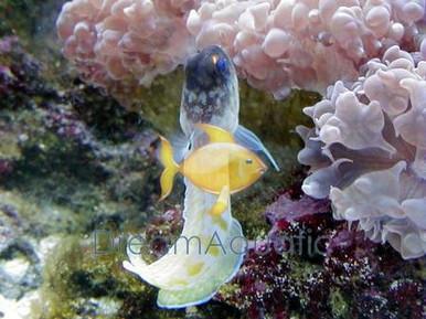 Black Cap Jawfish - Opistognathus lonchurus - Moustache Jawfish
