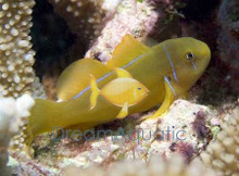 Citron Clown Goby - Gobiodon citrinus - Citron Clown Goby