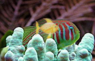 Green Clown Goby - Gobiodon atrangulatus - Earspot Coral Goby