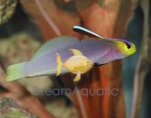 Helfrich's Firefish Goby - Nemateleotris helfrichi - Pink Dartfish Goby