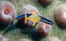 Neon Goby - Gobiosoma oceanops - Neon Blue Goby