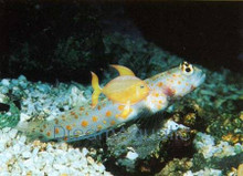 Orangespotted Shrimp Goby - Amblyeleotris guttata - Orange Spotted