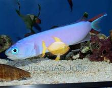 Purple Tilefish Goby - Hoplolatilus purpureus