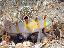 Randal's Goby - Orange Stripe Prawn Goby - Amblyeleotris randalli