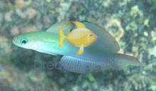 Scissortail Goby - Ptereleotris evides - Scissor-Tail Goby - Blackfin Dartfish