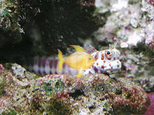 Spotted Watchman Goby - Cryptocentrus leptocephalus - Blue Spot Watchman Goby - Pinkspotted Shrimp Goby