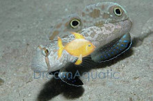 Two Spot Goby - Signigobius biocellatus - Twinspot - Crabeye - 4-Wheel Drive Goby