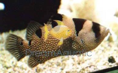 Clown Leaflip Grouper - Pogonoperca punctata - Leaf Lip Soapfish - Grouper Fish