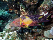 Lyretail Grouper - Variola louti - Yellow-Edged Lyretail Grouper Fish