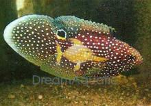 Marine Betta Grouper - Calloplesiops altivelis - Comet Grouper Fish