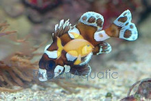 Clown Sweetlips - Grunts Sweetlips - Plectorhinchus chaetodonoides - Harlequin Sweet lips