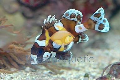 Clown Sweetlips - Grunts Sweetlips - Plectorhinchus chaetodonoides - Harlequin Sweet lips