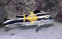 Stripe Sweetlips - Grunts Sweetlips - Plectorhinchus albovittatus - Yellow-Lined Sweetlips