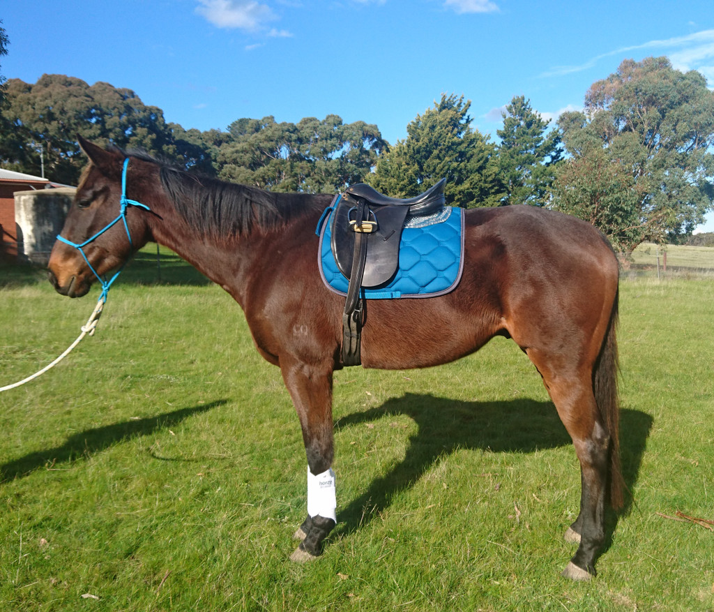 Waldhausen Esperia Saddle Pad & Horze Soft Pile Boots (aka Trigger's Modelling Debut!)