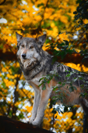 Wolf In Yellow