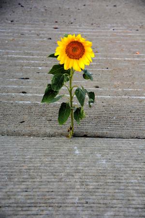 Concrete Sunflower