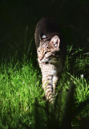 Sunshine Bobcat