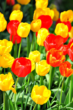 Happiness In Tulips