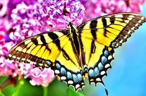 Lilac Swallowtail