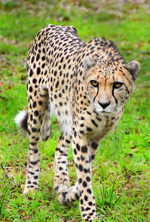 Cheetah Prowl