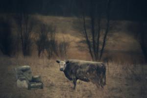 Cow Comfort