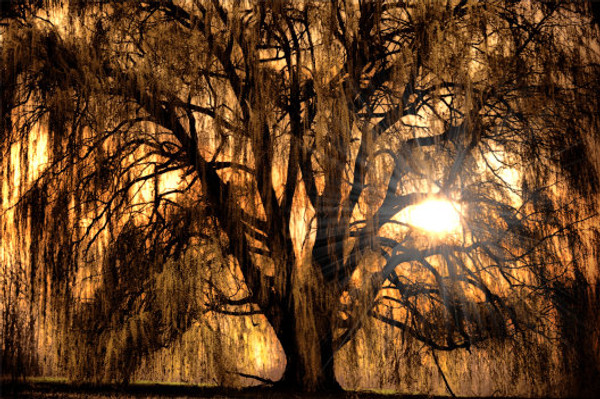 Sunset Through The Willow
