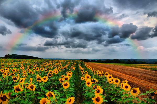 Sunflower Rainbow
