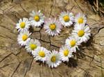 Flower Shasta Daisy Alaska