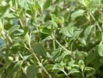 Herb Sweet Marjoram Seeds