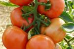 Marglobe Supreme Tomato Seeds QTY. 25 (Determinate)