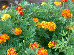 French Marigolds Mix