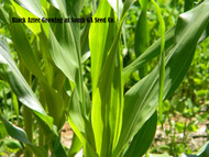 Corn Tillers or Suckers; Should they stay or go?