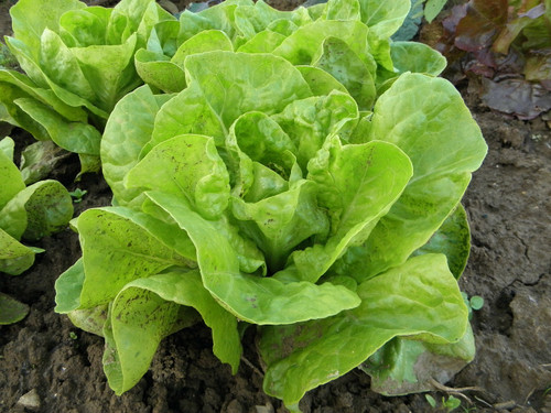 Parris Island Lettuce