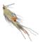 Coyote Spawning Shrimp - Lead Eye