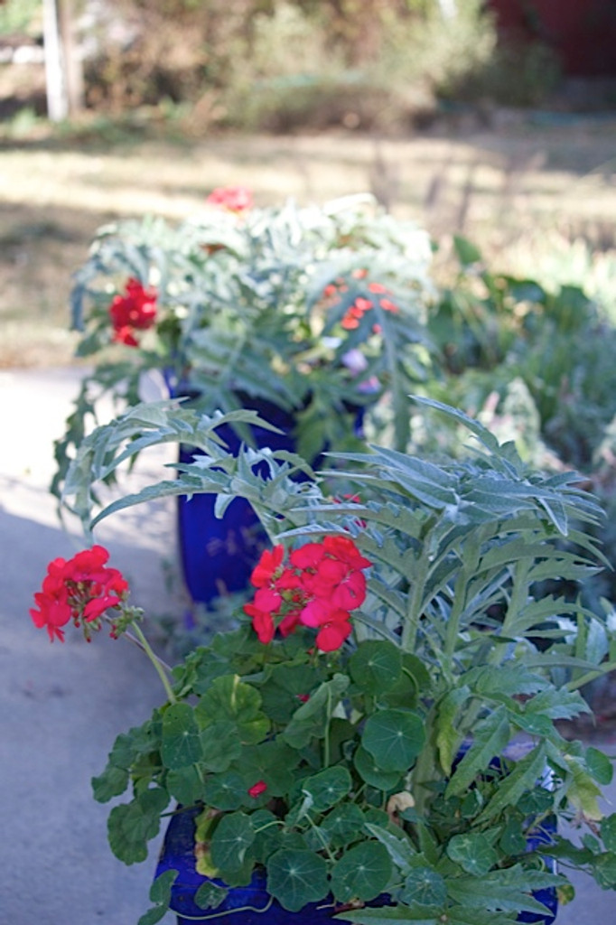 Cardoon is a fantastic ornamental plant, too. Its silvery leaves are the perfect foil for the brilliant colors of our Franchi geraniums.