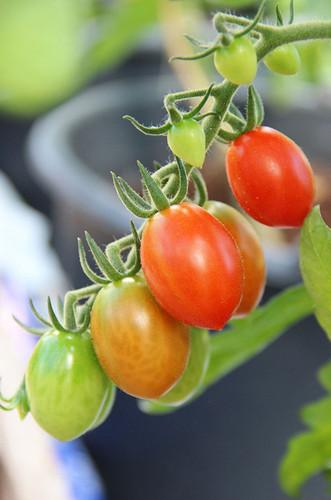 Tomato Muscato Piccolo Dattero Ibrido (106-119)