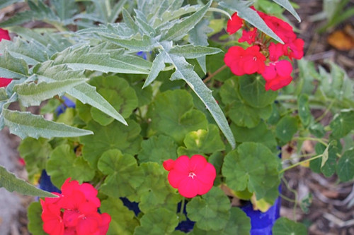 We like the combination of geraniums with the silvery leaves of cardoon.