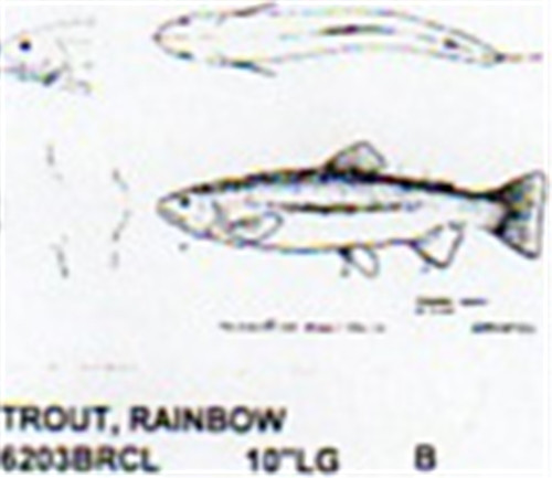 Rainbow trout mouth closed quot long color carving pattern