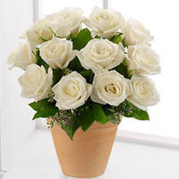 12 White Roses In A Pot