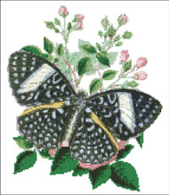 Peridromia Butterfly