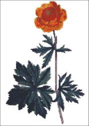 Asiatic Globe Flower