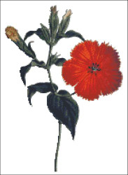 Chinese Lychnis