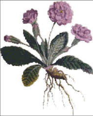 Double Lilac Primrose